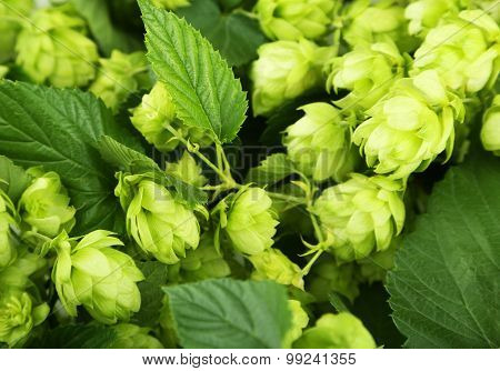 Green and fresh Hops background, close up