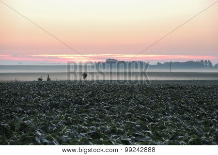 Sunrise Over Soybeans