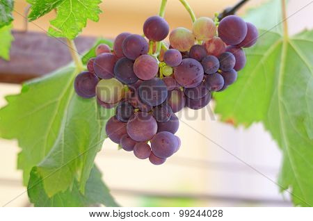 Grapes On The Vine Just Before Harvest