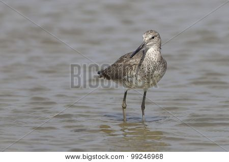 Willet Wading In Shallow Water - Bolivar Peninsula, Texas