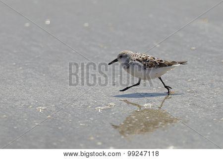 Sanderling Running On A Beach - Bolivar Peninsula, Texas