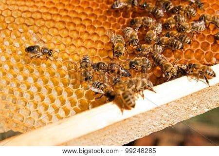 Bees Inside A Beehive With The Queen Bee In The Middle