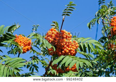 Rowan Berries On A Mountain Ash Or Rowan Tree, Sorbus Aucuparia.