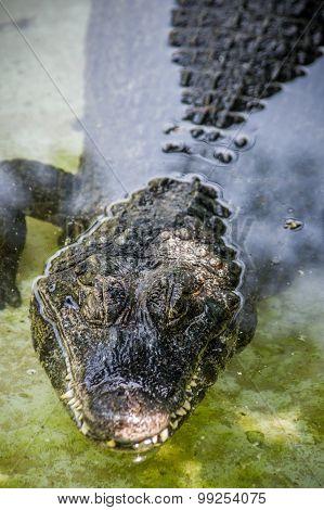 Crocodile On Water