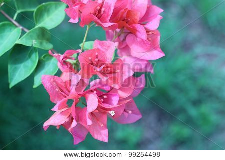 Beautiful Pink Magenta Bougainvillea Flowers And Blue Sky In Summer Outdoor