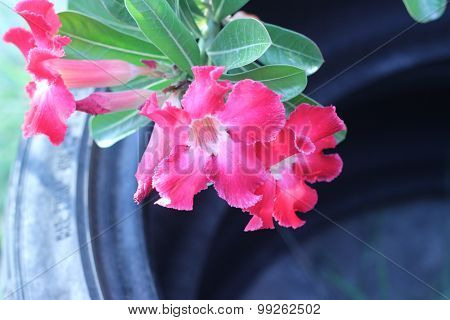 Desert Rose, Impala Lily, Mock Azalea, Beauty Flowers In Thailand