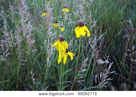Rough Coneflowers