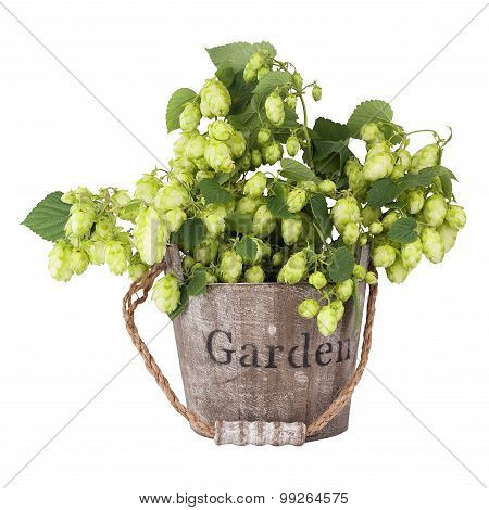 Branch Plants Hops, With Leaves And Bumps Standing In A Wooden Bucket