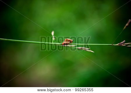 Two Red Beetle-barbel