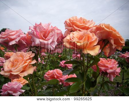 Pink and salmon pink standard roses