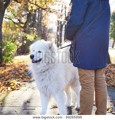 Walking Arctic Spitz Samoyed dog outdoors