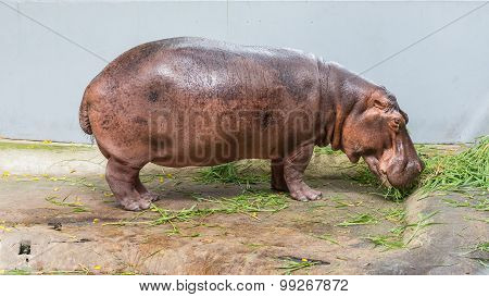 Hippopotamus eating grasses In The Cage