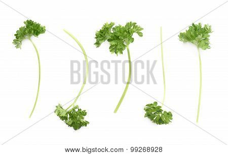 Petroselinum crispum parsley plant isolated