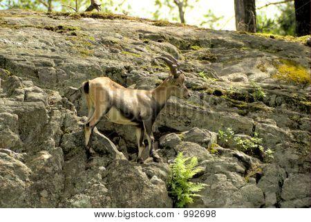 Alpine Ibex 6
