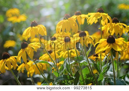 Rudbeckia Flowers In Sunny Day