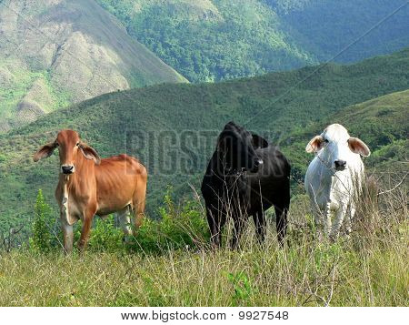 Three Wild Roaming Cows Standing on Ridge In Front of Forested Hills