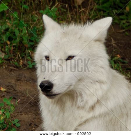 Artic Wolf (
