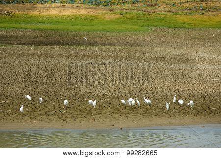 Sri Lankan Little Egret Flock