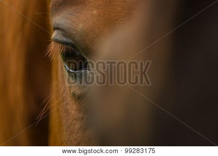 Horse Eye Extreme Closeup