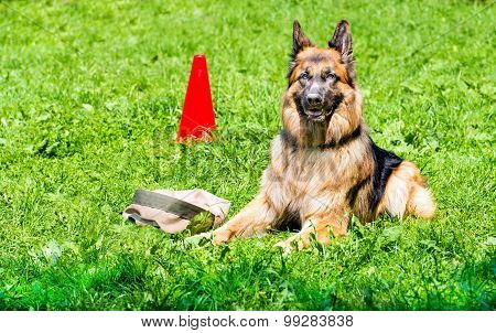 German shepherd command GUARD.