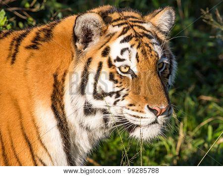 Tiger Wild Cat