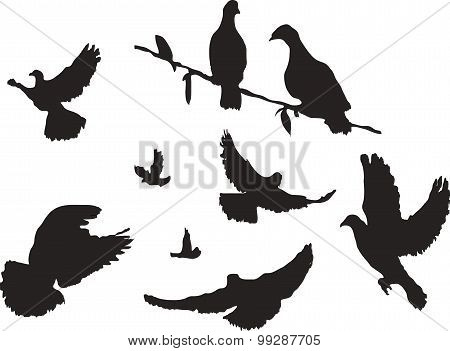 Vector image silhouette pigeons. 9 pigeons in different positions - sitting, flying, soar