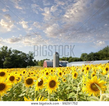 Sunflower Field And Barn With Clouds And Sky