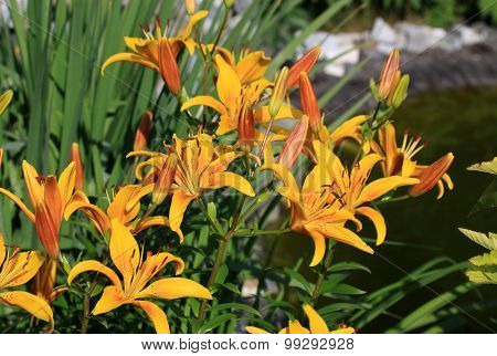 Liliums in the garden in summer time
