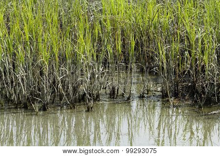 Edge Of Cordgrass And Mud In Brackish Water