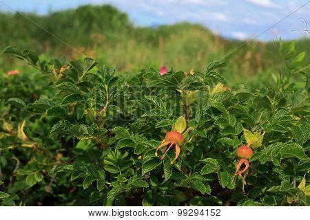 Bush rosehip rosehip berries