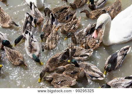 Ringed Teal Duck and Gooses in Lake.