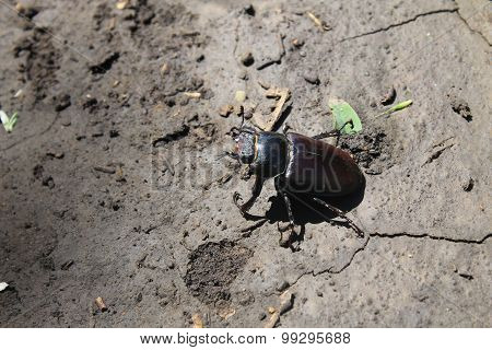 Stag-beetle female