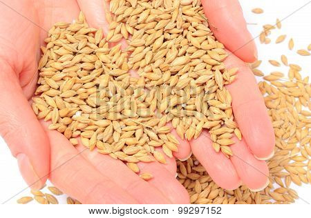 Barley Grain In Hand Of Woman. White Background