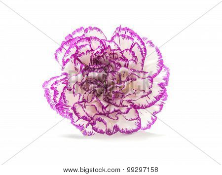 Purple Shade Carnation Flower