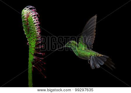 Humming Bird Flying Against Black Background