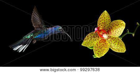 Hummingbird Flying Against Black Background