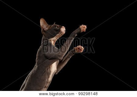 Sphynx Cat Reaching Paw On Black