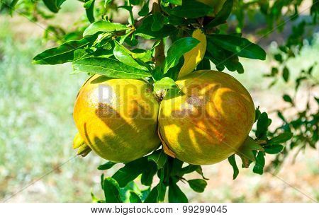 Unripe Colorful Pomegranate Fruits On Tree Branch.