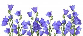 picture of blue-bell  - Growing blue bells isolated on white background - JPG