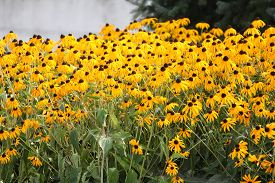 stock photo of black-eyed susans  - Thick blanket of a pretty yellow flower (Black-Eyed Susan) in a flower garden.