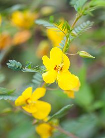stock photo of hermaphrodite  - Partridge Pea Flower  - JPG