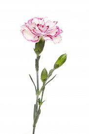pic of carnations  - Purple fringed carnation flower and buds isolated against white - JPG