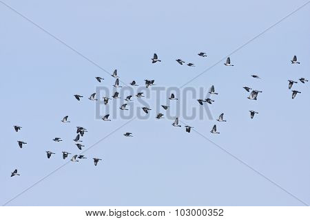 A flock of common wood pigeon in bird migration.