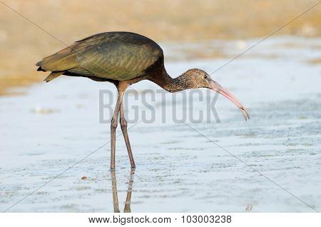 Glossy Ibis At Shallow Water