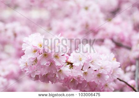 background with Beautiful pink cherry blossom, Sakura flowers