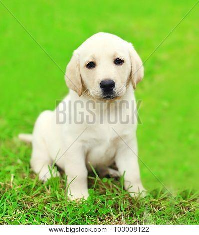 Cute Dog Puppy Labrador Retriever Sitting On Green Grass