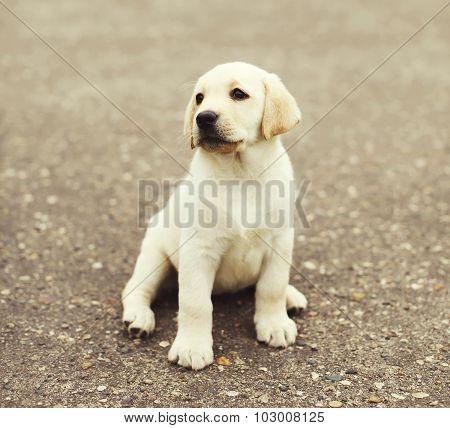 Cute Dog Puppy Labrador Retriever Sitting On Street