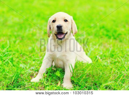 Happy Cute Dog Puppy Labrador Retriever Sitting On Green Grass In Sunny Summer Day