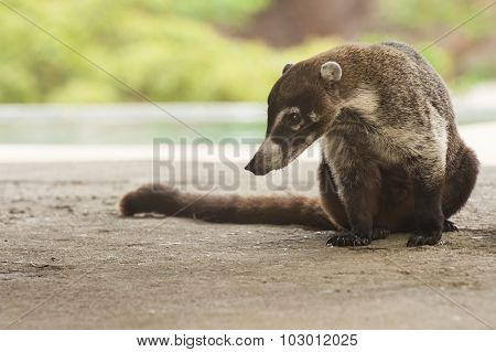 Male Coati Sitting