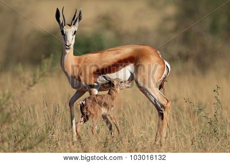 Springbok antelope (Antidorcas marsupialis) with newly born lamb, South Africa
